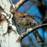 Ruffed Grouse Forecast 2016: The Traveling Wingshooter