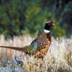 Pheasant Forecast 2016: The Traveling Wingshooter