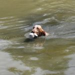 Pointing Dogs – Water Dogs?