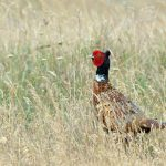 2019 Upland Gamebird Hunting Forecast Updates