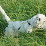 POINTING DOG POINTERS: Problems in Developing the Started Dog – Handling and Control