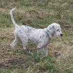 POINTING DOG POINTERS: Problems in Developing the Started Dog –  Pointing